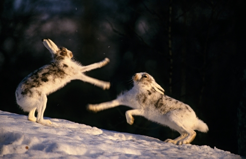 Mountain hare (Lepus timidus) fight. Middle-Norway. © Erlend Haarberg