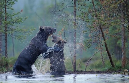 European Brown bear, Ursus arctos, Kuhmo Finland. © Staffan Widstrand/Wild Wonders of Europe, www.staffanwidstrand.se, www.wild-wonders.com